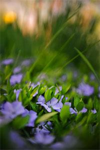 purple-flowers-closeup