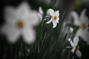 white-narcissus-closeup