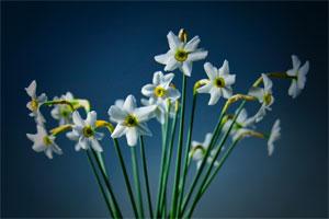 white-narcissus-on-a-dark-blue-background