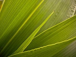 Corn-leafs-closeup_03