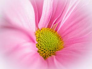 Pink-chrysanthemum-close-up