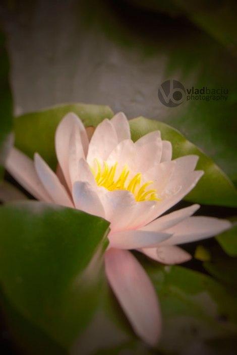 water-lily-closeup
