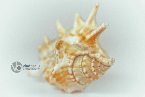orange-spider-conch-close-up