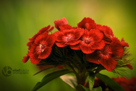 red-flowers-close-up-on-green-background