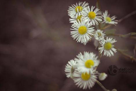 fineart-photo-print-small-daisies-closeup
