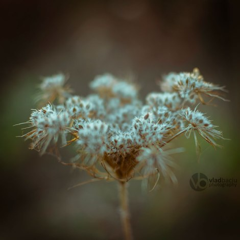 fineart-photo-print-white-fluffy-weed
