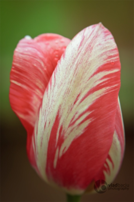 fine-art-photo-for-prints-Red-and-white-tulip-bud-close-up