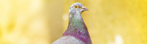 Dove-standing-close-up-featured