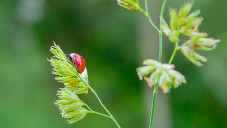 lady-bird-on-a-herb-straw-close-up