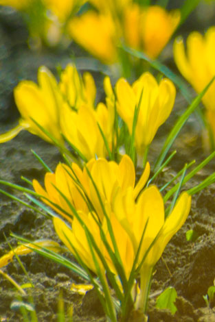 Small-yellow-flowers-close-up