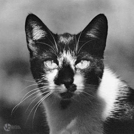 black-and-white-cat-close-up